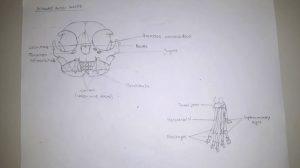 Gesamtschule KW_Erste Ergebnisse aus der AG Wissenschaftliches Zeichnen_4